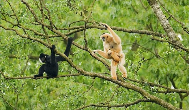 vietnam gibbon