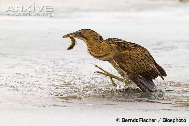Avetoro común, especie muy poco común presente en el Delta del Ebro. Fuente: Berndt Fischer