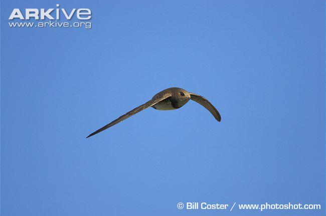 Alpine-swift-in-flight