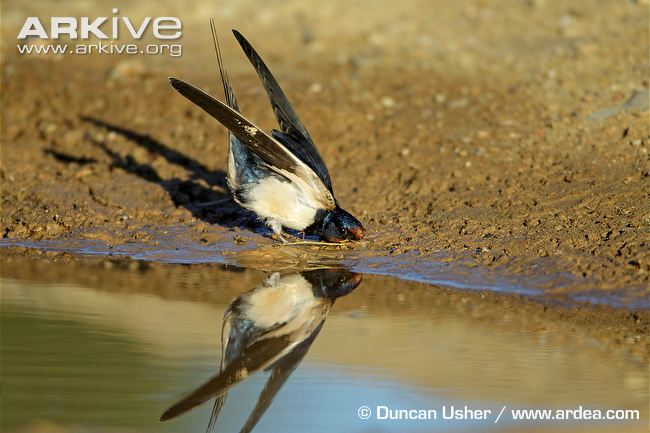 Barn-swallow-collecting-mud-to-make-its-nest