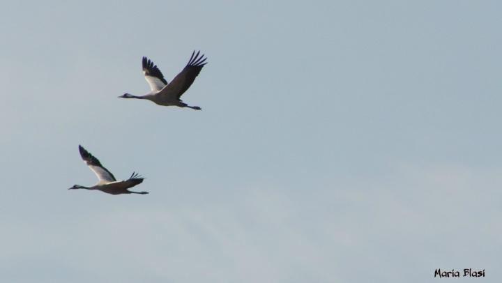 cranes kristianstad (2)
