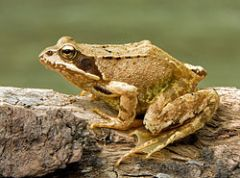 250px-European_Common_Frog_Rana_temporaria_(cropped)
