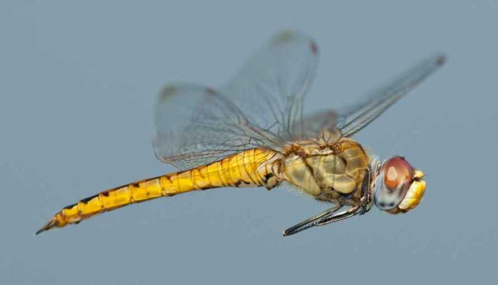 10 datos curiosos sobre las libélulas – Crónicas de un Amonite