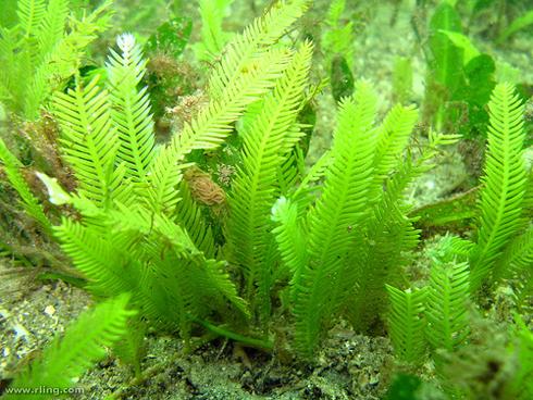 Fotografía de Caulerpa taxifolia. Fuente: Universidad de California