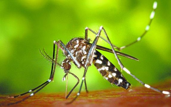 Imágen de un mosquito tigre.