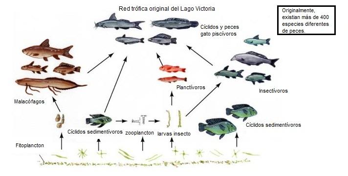 Red trófica antes de la introducción de la Perca del Nilo. Adaptado de (Salazar et al., 2009)