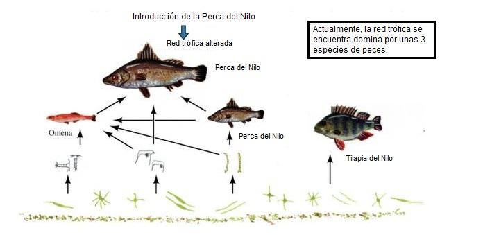 Red trófica después de la introducción de la Perca del Nilo. Adaptado de (Salazar et al. 2009)