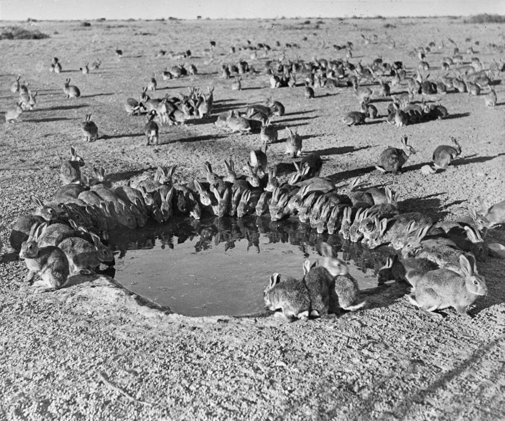Imágen de Australia a mediados del siglo XX, cuando las poblaciones de conejos se convirtieron en una auténtica plaga.