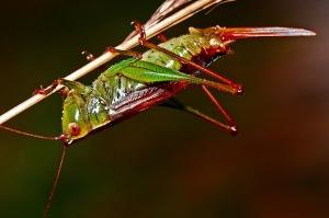 grasshopper-562090_960_720
