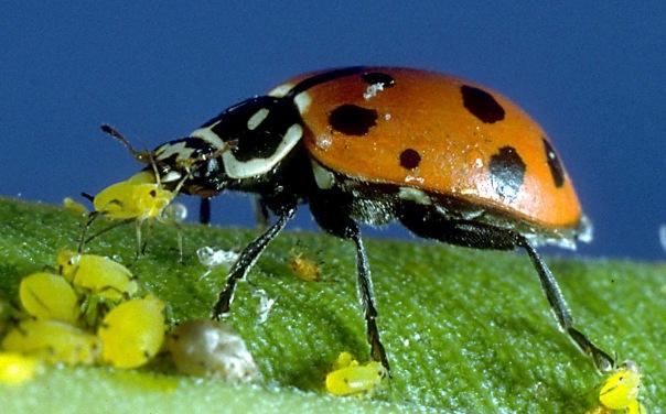 mariquita-comiendo-pulgones-foto-macro-hoja-depredador-insecto-carnivoro.jpg