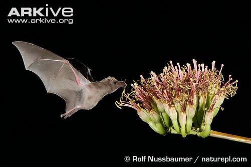 fig 5- nectarivoro