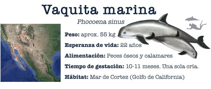 Caracteristicas_vaquita_marina
